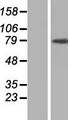 ARHGAP12 Protein - Western validation with an anti-DDK antibody * L: Control HEK293 lysate R: Over-expression lysate