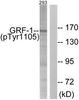 Western blot analysis of lysates from 293 cells treated with EGF 200ng/ml 30', using GRF-1 (Phospho-Tyr1105) Antibody. The lane on the right is blocked with the phospho peptide.