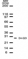 Western blot of antibody in whole Jurkat cell lysate.