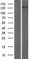 ARHGEF10L Protein - Western validation with an anti-DDK antibody * L: Control HEK293 lysate R: Over-expression lysate