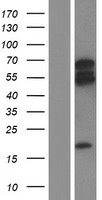 ARHGEF3 / XPLN Protein - Western validation with an anti-DDK antibody * L: Control HEK293 lysate R: Over-expression lysate