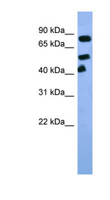 ARNT / HIF-1-Beta Antibody - ARNT antibody Western blot of Rat Liver lysate. This image was taken for the unconjugated form of this product. Other forms have not been tested.