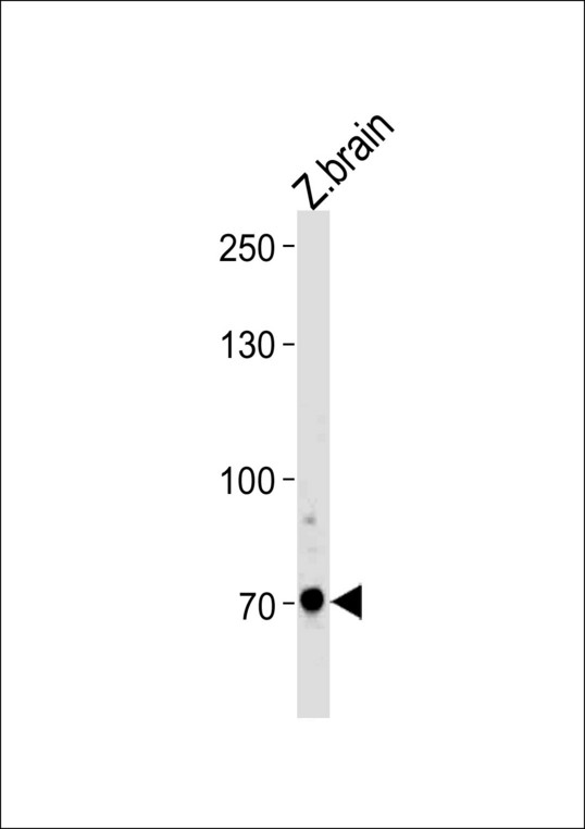 DANRE arnt2 Antibody western blot of zebra fish brain tissue lysates (35 ug/lane). The ARNT2 antibody detected the ARNT2 protein (arrow).