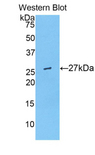 Western blot of recombinant ARP5 / ANGPTL6.  This image was taken for the unconjugated form of this product. Other forms have not been tested.