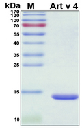 PFN2 / Profilin 2 Protein - SDS-PAGE under reducing conditions and visualized by Coomassie blue staining