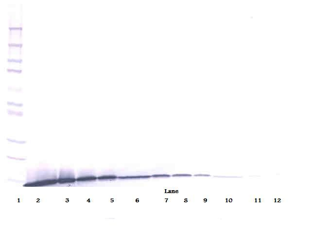 Western Blot (reducing) of Artemin antibody LS-C104679.  This image was taken for the unconjugated form of this product. Other forms have not been tested.