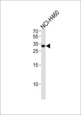 ASCL1 Antibody western blot of NCI-H460 cell line lysates (35 ug/lane). The ASCL1 antibody detected the ASCL1 protein (arrow).