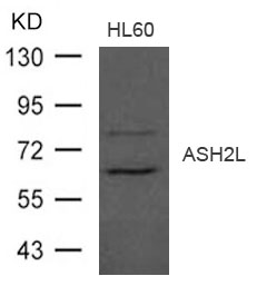 Western blot of extract from HL-60 cells using ASH2L antibody