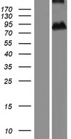 ASPIC1 / CRTAC1 Protein - Western validation with an anti-DDK antibody * L: Control HEK293 lysate R: Over-expression lysate