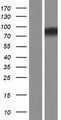 ASUN / C12orf11 Protein - Western validation with an anti-DDK antibody * L: Control HEK293 lysate R: Over-expression lysate