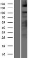 ASXL2 Protein - Western validation with an anti-DDK antibody * L: Control HEK293 lysate R: Over-expression lysate