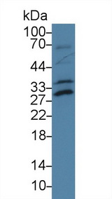 ATF1 Antibody - Western Blot; Sample: Mouse Lung lysate; Primary Ab: 2µg/ml Rabbit Anti-Rat ATF1 Antibody Second Ab: 0.2µg/mL HRP-Linked Caprine Anti-Rabbit IgG Polyclonal Antibody