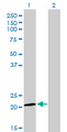 ATF3 Antibody - Western Blot analysis of ATF3 expression in transfected 293T cell line by ATF3 monoclonal antibody (M01), clone 6B8.Lane 1: ATF3 transfected lysate(20.6 KDa).Lane 2: Non-transfected lysate.