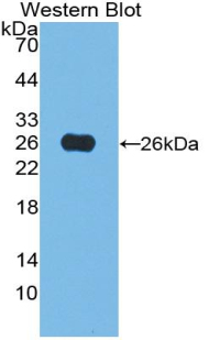 Western blot of recombinant ATF4.