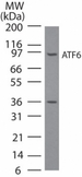 Western blot of ATF6in NIH3T3 cell lysate using antibody at 3 ug/ml. A band corresponding to full-length ATF6 was detected. We have not characterized the ~36 kD observed band; it may be an ATF6 breakdown/cleavage product.