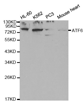 Western blot analysis of extracts of various cell lines, using ATF6 antibody at 1:1000 dilution. The secondary antibody used was an HRP Goat Anti-Rabbit IgG (H+L) at 1:10000 dilution. Lysates were loaded 25ug per lane and 3% nonfat dry milk in TBST was used for blocking.
