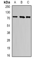 Western blot analysis of ATF6 expression in K562 (A); PC3 (B); mouse heart (C) whole cell lysates.