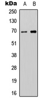 ATG16L2 Antibody - Western blot analysis of ATG16L2 expression in SHSY5Y (A); NIH3T3 (B) whole cell lysates.