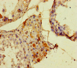 ATG16L2 Antibody - Immunohistochemistry of paraffin-embedded human testis tissue at dilution of 1:100