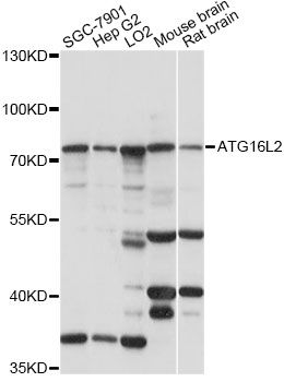 ATG16L2 Antibody - Western blot analysis of extracts of various cell lines, using ATG16L2 antibody at 1:1000 dilution. The secondary antibody used was an HRP Goat Anti-Rabbit IgG (H+L) at 1:10000 dilution. Lysates were loaded 25ug per lane and 3% nonfat dry milk in TBST was used for blocking. An ECL Kit was used for detection and the exposure time was 30s.