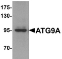 Western blot of mouse heart tissue lysate probed with Rabbit anti-Human ATG9A