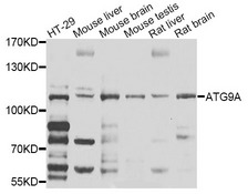 ATG9A Antibody - Western blot analysis of extracts of HT-29 cells.