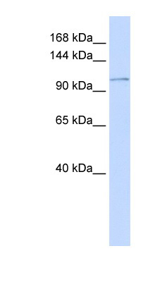 ATP2B3 / PMCA3 antibody Western blot of Placenta lysate. This image was taken for the unconjugated form of this product. Other forms have not been tested.