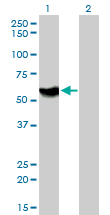 Western Blot analysis of ATP6AP1 expression in transfected 293T cell line by ATP6AP1 monoclonal antibody (M01), clone 3A2.Lane 1: ATP6AP1 transfected lysate(52 KDa).Lane 2: Non-transfected lysate.