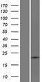 ATP6V0E2 Protein - Western validation with an anti-DDK antibody * L: Control HEK293 lysate R: Over-expression lysate