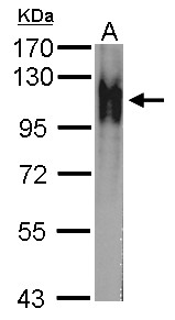 Atpalpha Antibody - Sample (whole cell lysate) A: Drosophila lysate(1 ug) 7.5% SDS PAGE Atpalpha antibody diluted at 1:10000