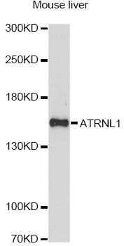 ATRNL1 Antibody - Western blot analysis of extracts of mouse liver, using ATRNL1 antibody at 1:1000 dilution. The secondary antibody used was an HRP Goat Anti-Rabbit IgG (H+L) at 1:10000 dilution. Lysates were loaded 25ug per lane and 3% nonfat dry milk in TBST was used for blocking. An ECL Kit was used for detection and the exposure time was 90s.