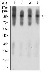 ATXN1 / SCA1 Antibody - Western blot analysis using ATXN1 mouse mAb against C6 (1), COS7 (2), NIH/3T3 (3), and HL-60 (4) cell lysate.