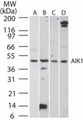 Western blot of AIK1 in A) HCT-116, B) human testis, C) mouse testis, and D) rat testis lysate using antibody at 2 ug/ml.