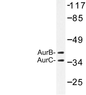 Aurora Kinase B+C Antibody - Western blot of AurB/C (K197) pAb in extracts from 293 cells.