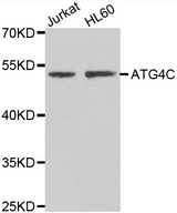AUTL1 / ATG4C Antibody - Western blot analysis of extracts of various cell lines.
