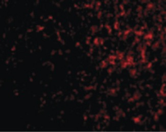 Immunofluorescence of AVEN in Human Spleen cells with AVEN antibody at 20 ug/ml.