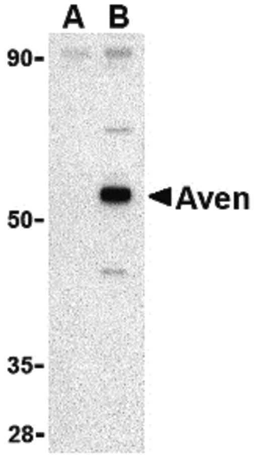 Western blot of Aven in Raji cell lysate with Aven antibody at 1 ug/ml in (A) the presence and (B) the absence of blocking peptide.