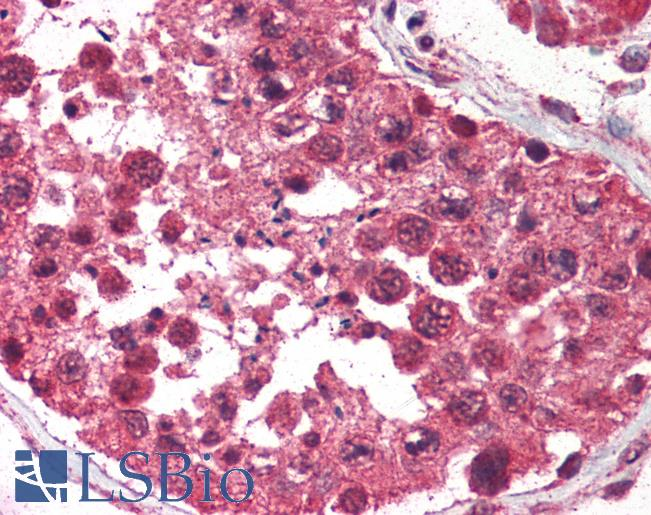 Anti-AVEN antibody IHC of human testis. Immunohistochemistry of formalin-fixed, paraffin-embedded tissue after heat-induced antigen retrieval. Antibody LS-B444 concentration 5 ug/ml.
