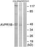 Western blot of extracts from COLO/HepG2 cells, using AVPR1B Antibody. The lane on the right is treated with the synthesized peptide.