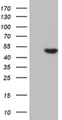 AZIN1 Antibody - HEK293T cells were transfected with the pCMV6-ENTRY control. (Left lane) or pCMV6-ENTRY AZIN1. (Right lane) cDNA for 48 hrs and lysed. Equivalent amounts of cell lysates. (5 ug per lane) were separated by SDS-PAGE and immunoblotted with anti-AZIN1.