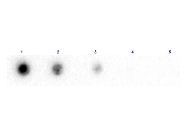 B2M / Beta 2 Microglobulin Antibody - Dot Blot results of rabbit Anti-Beta 2 Microglobulin Biotin Conjugated. Antigen: Beta-2-Microglobulin. Blot loaded at 3 fold dilution: 1. 100ng, 2. 33.3ng, 3. 11.1ng, 4. 3.70ng, 5. 1.23ng. Blocking: MB-070 Buffer for 30 minutes at RT. Primary Antibody: Rabbit Anti-Beta-2-Microglobulin Biotin 10µg/mL for 1hr at RT. Secondary Antibody: Streptavidin-HRP at 1:40,000 for 30min at RT. Imaging System ChemiDoc, Filter used: Chemi.