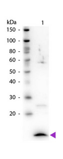 B2M / Beta 2 Microglobulin Antibody - Western Blot of rabbit Anti-Beta-2-Microglobulin antibody. Lane 1: Beta-2-Microglobulin. Lane 2: None. Load: 50 ng per lane. Primary antibody: Beta-2-Microglobulin primary antibody at 1:1,000 overnight at 4°C. Secondary antibody: Peroxidase rabbit secondary antibody at 1:40,000 for 30 min at RT. Blocking: MB-070 for 30 min at RT. Predicted/Observed size: 12 kDa, 12 kDa for Beta-2-Microglobulin. Other band(s): Beta-2-Microglobulin splice variants and isoforms.