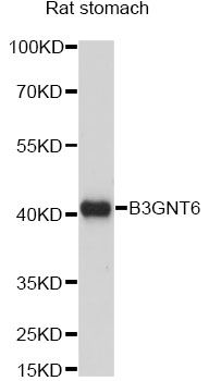 B3GNT6 Antibody - Western blot analysis of extracts of rat stomach, using B3GNT6 antibody at 1:1000 dilution. The secondary antibody used was an HRP Goat Anti-Rabbit IgG (H+L) at 1:10000 dilution. Lysates were loaded 25ug per lane and 3% nonfat dry milk in TBST was used for blocking. An ECL Kit was used for detection and the exposure time was 60s.