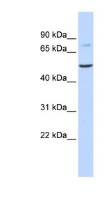 BAAT antibody western blot of Human Fetal Liver lysate.  This image was taken for the unconjugated form of this product. Other forms have not been tested.