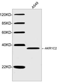 Western blot of cell lysates using AKR1C2 Antibody, pAb, Rabbit (1 ug/ml). The signal was developed with IRDye 800 Conjugated Goat Anti-Rabbit IgG. Predicted Size: 37 KD. Observed Size: 37 KD.
