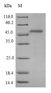 WAC Protein - (Tris-Glycine gel) Discontinuous SDS-PAGE (reduced) with 5% enrichment gel and 15% separation gel.