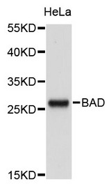 Western blot analysis of extracts of HeLa cells, using BAD antibody.