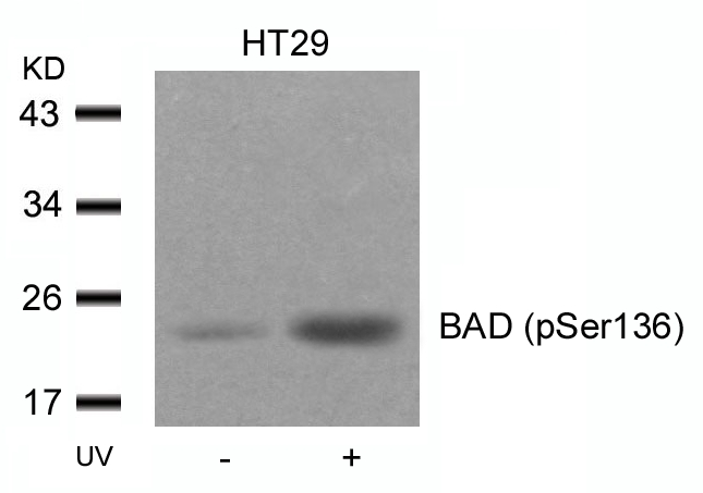 Western blot of extracts from HT29 cells untreated or treated with UV using BAD (Phospho-Ser136) antibody.