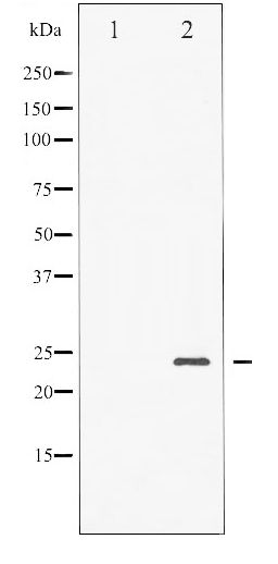Western blot of BAD phosphorylation expression in Forskolin treated NIH-3T3 whole cell lysates,The lane on the left is treated with the antigen-specific peptide.