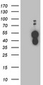 HEK293T cells were transfected with the pCMV6-ENTRY control (Left lane) or pCMV6-ENTRY BAIAP2 (Right lane) cDNA for 48 hrs and lysed. Equivalent amounts of cell lysates (5 ug per lane) were separated by SDS-PAGE and immunoblotted with anti-BAIAP2.